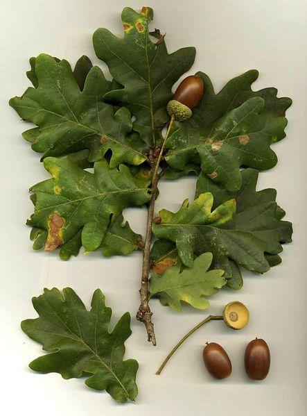 443px-Quercus_robur