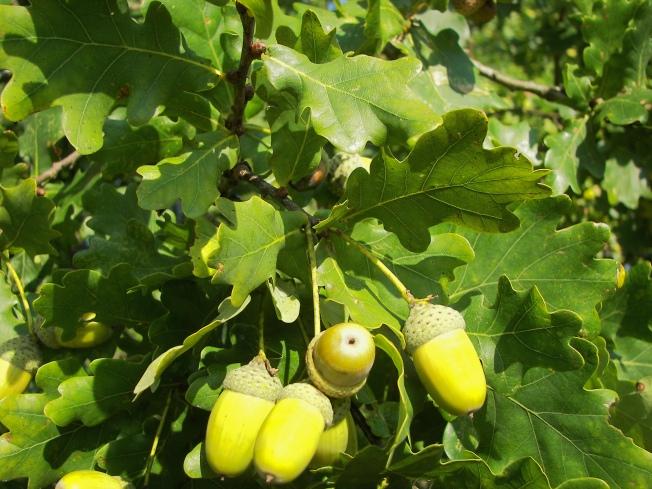 Quercus_Robur_031